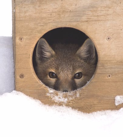 Eureka, MO: One of the swift foxes at the Endangered Wolf Center peers out from a den box.