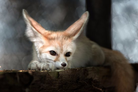 Eureka, MO: Daisy, a fennec fox, at the Endangered Wolf Center.