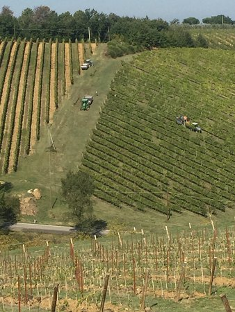 Marco Polo  Tours: Harvesting grapes