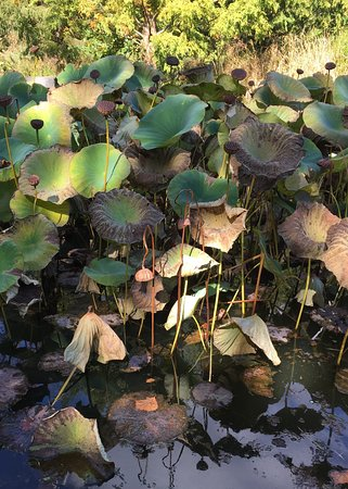 Wayne, Pensylwania: Last of the water lilies