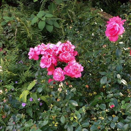 Wayne, PA: Roses' last stand