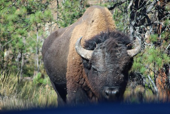 A wild time in Custer State Park.