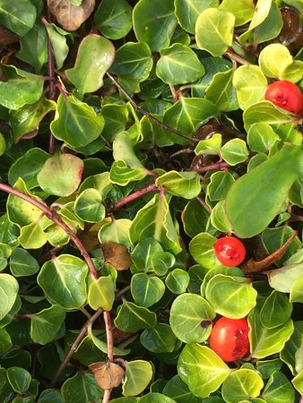 Wolfville, Canada : Partridge Berry