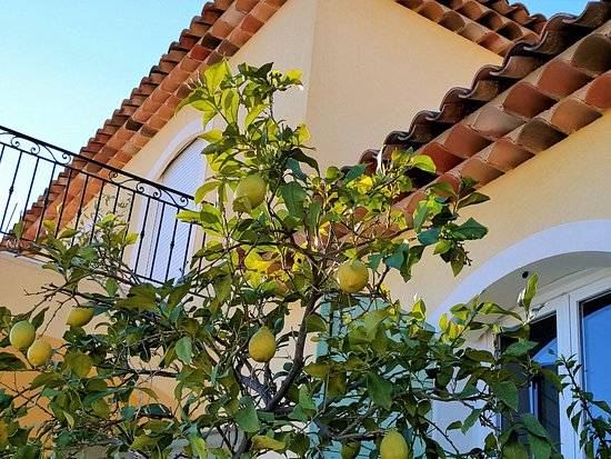 Auribeau-sur-Siagne, France: Lemon tree at Villa Jacaranda Guest House