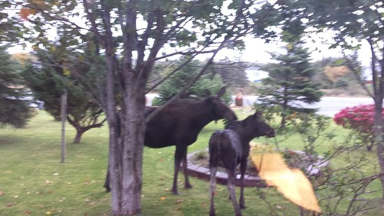 Northwest Lodge Bed & Breakfast: Local moose eating our shrubs! 😊