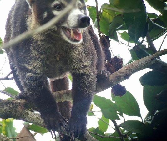 Osa Peninsula, Κόστα Ρίκα: Guati!