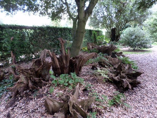 Horringer, UK: Unusual old roots in Ickworth grounds