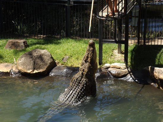 Currumbin, Australië: Crocodile feeding