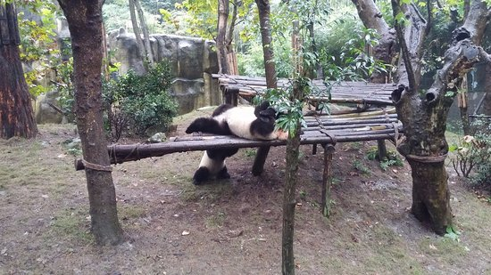 Dujiangyan, จีน: панды в период активности:)