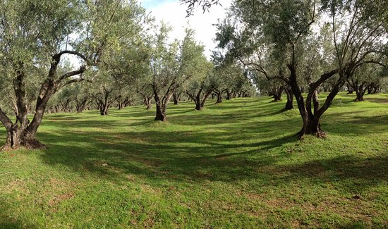 Oroville, Kaliforniya: Traditional olive orchard w/ trees that are 100 yrs old. Producing CA's original olive, the Miss