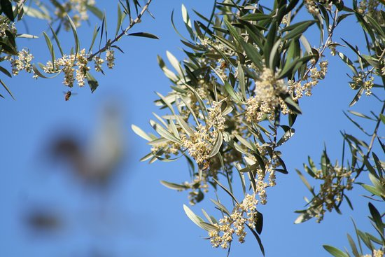 Olive Bloom May The Bees Are Happy How Many Can You Find