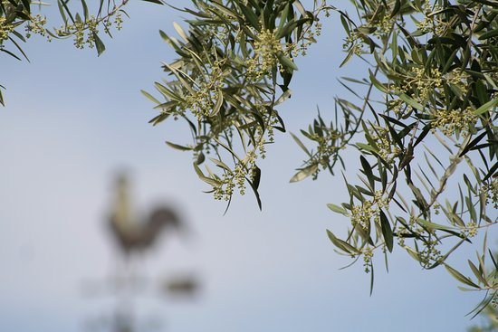 Olive Trees Close To Blooming April Picture Of Lodestar