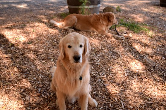 St. Helena, CA: Such sweet and gentle dogs!