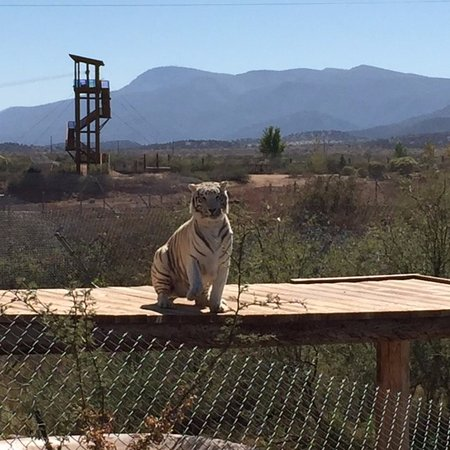 Camp Verde, AZ: white bengal tiger waiting for guide to those him a piece of meat