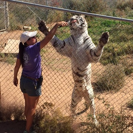 Camp Verde, AZ: Tiger standing high against the fence as guide feeds him