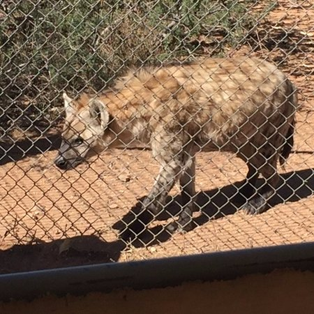 Camp Verde, AZ: hyena