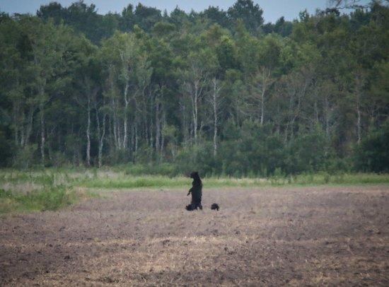 Manteo, Caroline du Nord : A mother and cubs near the back of a field.