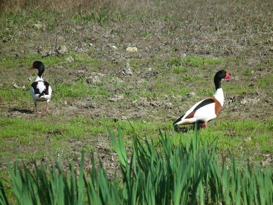 Lattes, Fransa: Tadornes de Belon à proximité de la maison de la nature