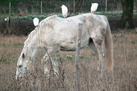 Lattes, Fransa: Hérons garde boeufs sur un cheval