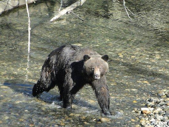 Campbell River, Canada: Bär Toba-Inlet mit Garry
