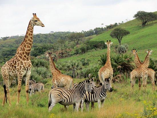 KwaZulu-Natal, Afrika Selatan: Giraffen und Zebras in trauter Einigung