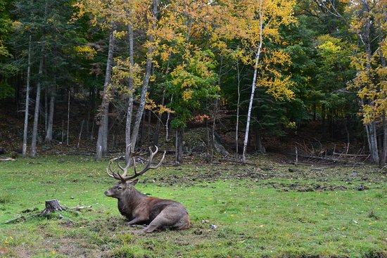 Montebello, Canadá: Des animaux qui semblent détendus