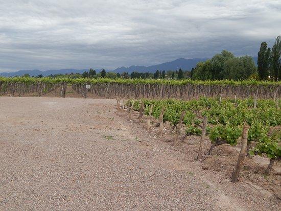 Lujan de Cuyo, Argentyna: Los viñedos.