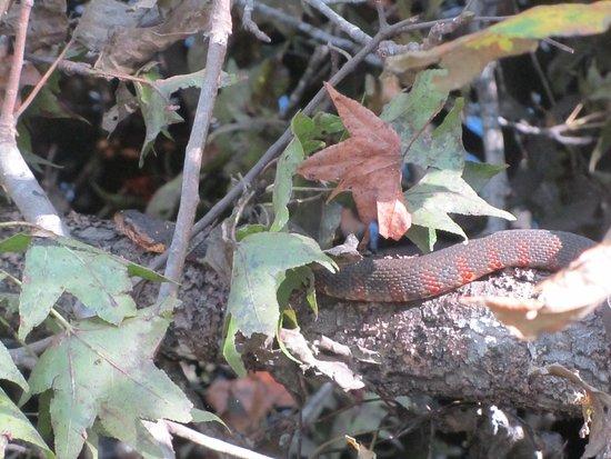Harleyville, Carolina del Sur: Banded Water Snake