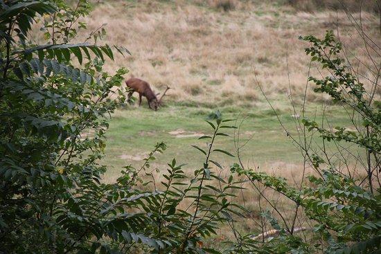 Richmond-upon-Thames, UK: Grazing deer
