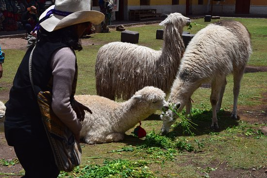 Free Walking Tour Cusco: Alpacaas