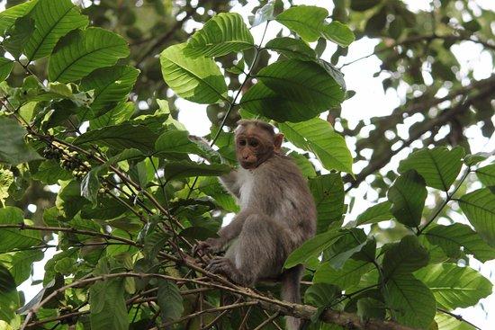Club Mahindra Thekkady: Monkey