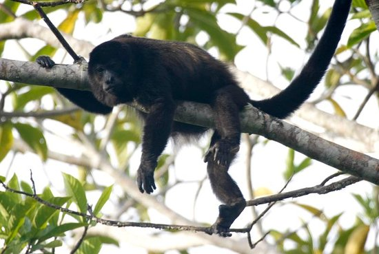 Boca Chica, Panama: See monkeys in the trees