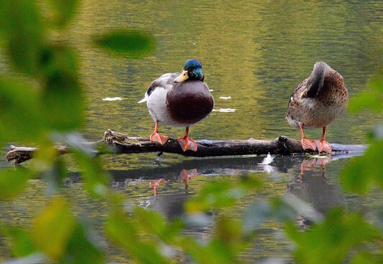 Winsen, Germania: Ducks on the lake.