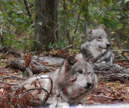 Columbia, NJ: Lakota wolf Preserve