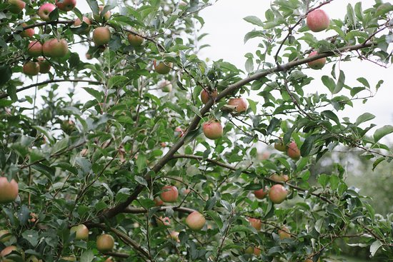 Flat Rock, NC: Once you walk well down into the orchard you can find trees heavy with ripe apples.
