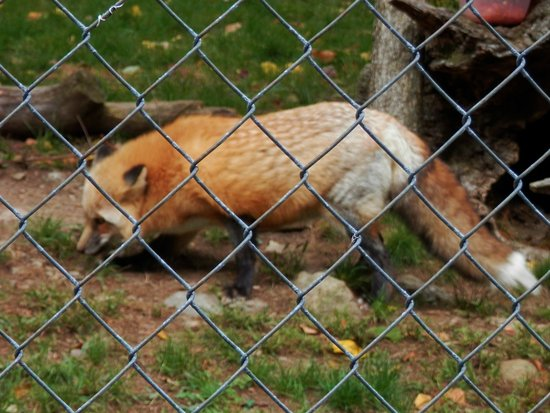 Columbia, Nueva Jersey: Red fox
