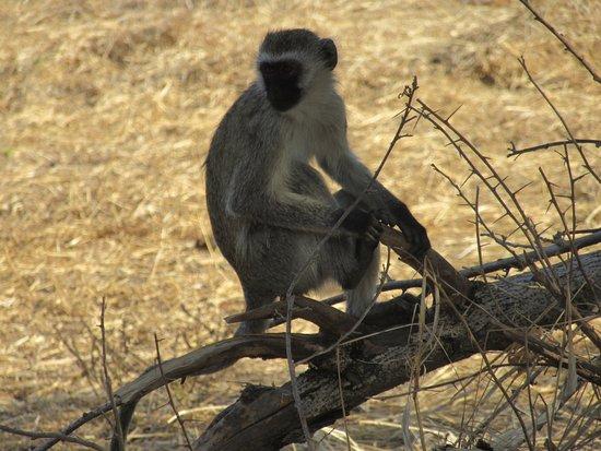 Ruaha National Park, Tanzania: Monkey near our table