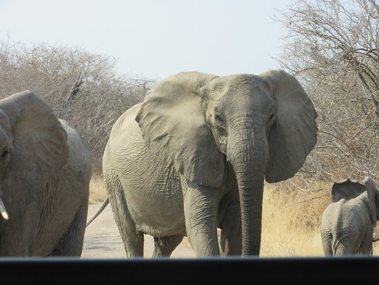 Ruaha National Park, Tanzania: Elephants on the road in front of our jeep