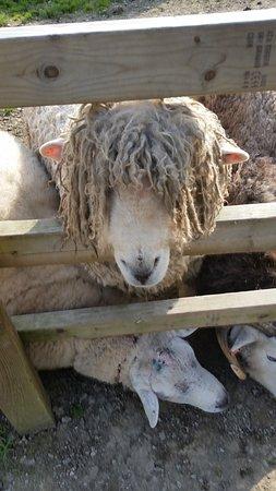 Bideford, UK: Our favourite sheep
