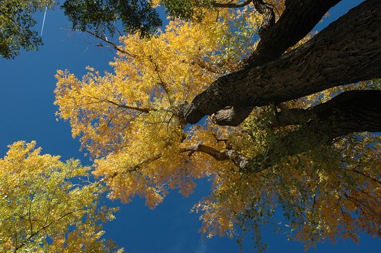 Golden Cottonwoods at Aztec Ruins