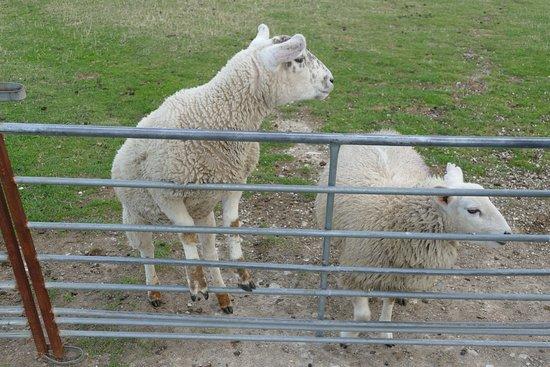 Isle of Portland, UK: Portland Sheep at Fancy's Farm