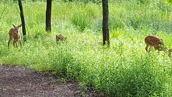 Stevens Point, WI: white tail fawns on the trail around lake Jonas the spring of 2016 there was a third not in phot