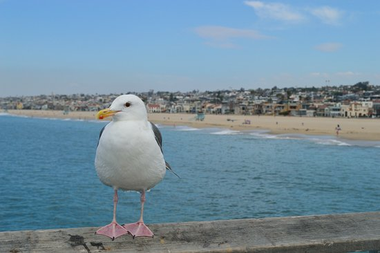 Hermosa Beach, CA: Seagull and Beach from the Pier