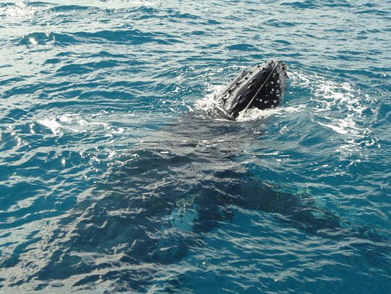 Hervey Bay, Australia: A sight on the Whalesong Cruise Boat: a whale peeking out of the water