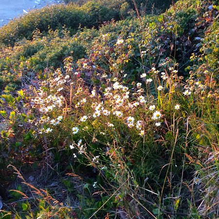 Brookings, Oregón: Harris Beach wildflowers