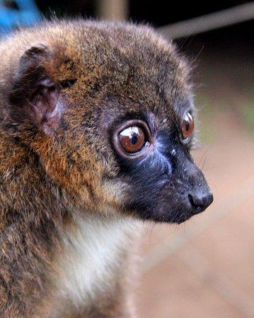 Woburn, UK: Cute lemur