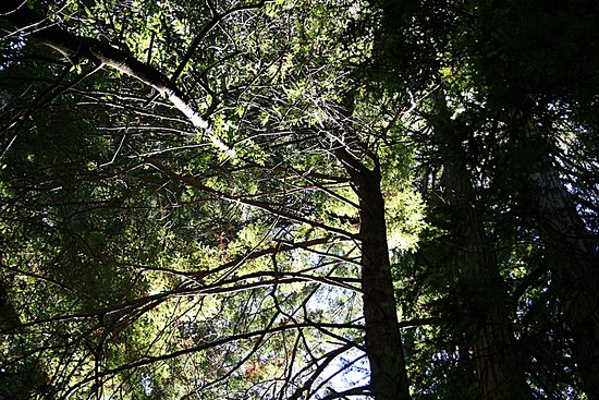 Mill Valley, CA: View or trees from benenath.