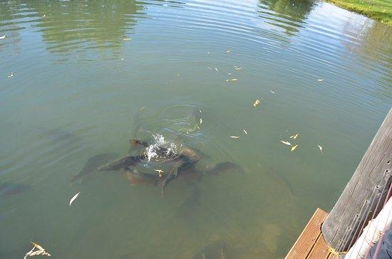 Omarama, Νέα Ζηλανδία: Trout pond