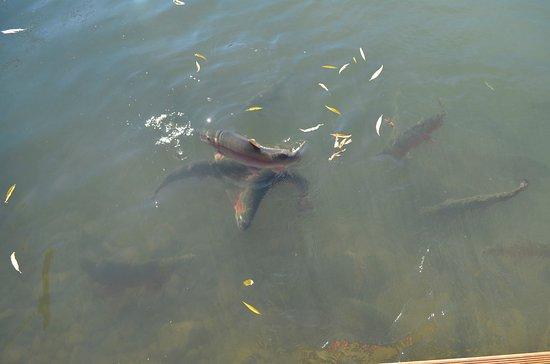 Omarama, Nya Zeeland: Huge trout