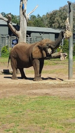 Dubbo, Avustralya: Last African Elephant in Australia